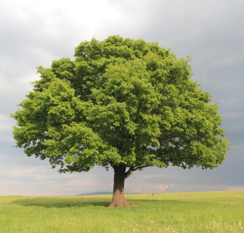Árvores isoladas oferecem grande risco por atraírem raios