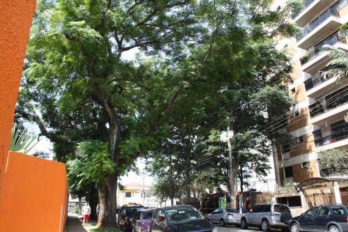 Árvore na Rua Serra de Jurea na altura do número 866: lindo de se ver
