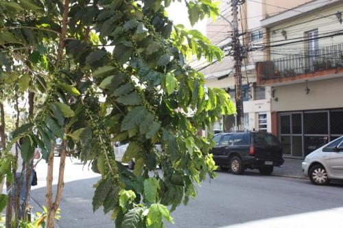 Pé de café na Francisco Marengo